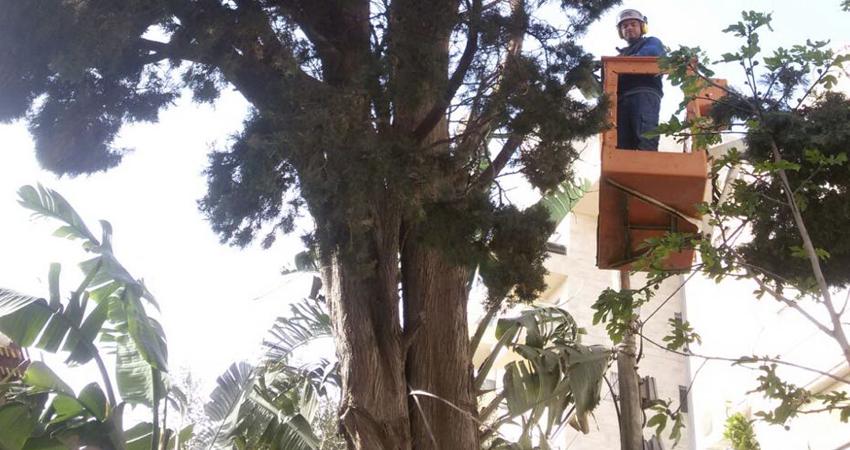 כריתת עצים עם סל- כריתת עצים ציקצועית
